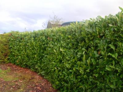 Laurel Hedge 3.jpg